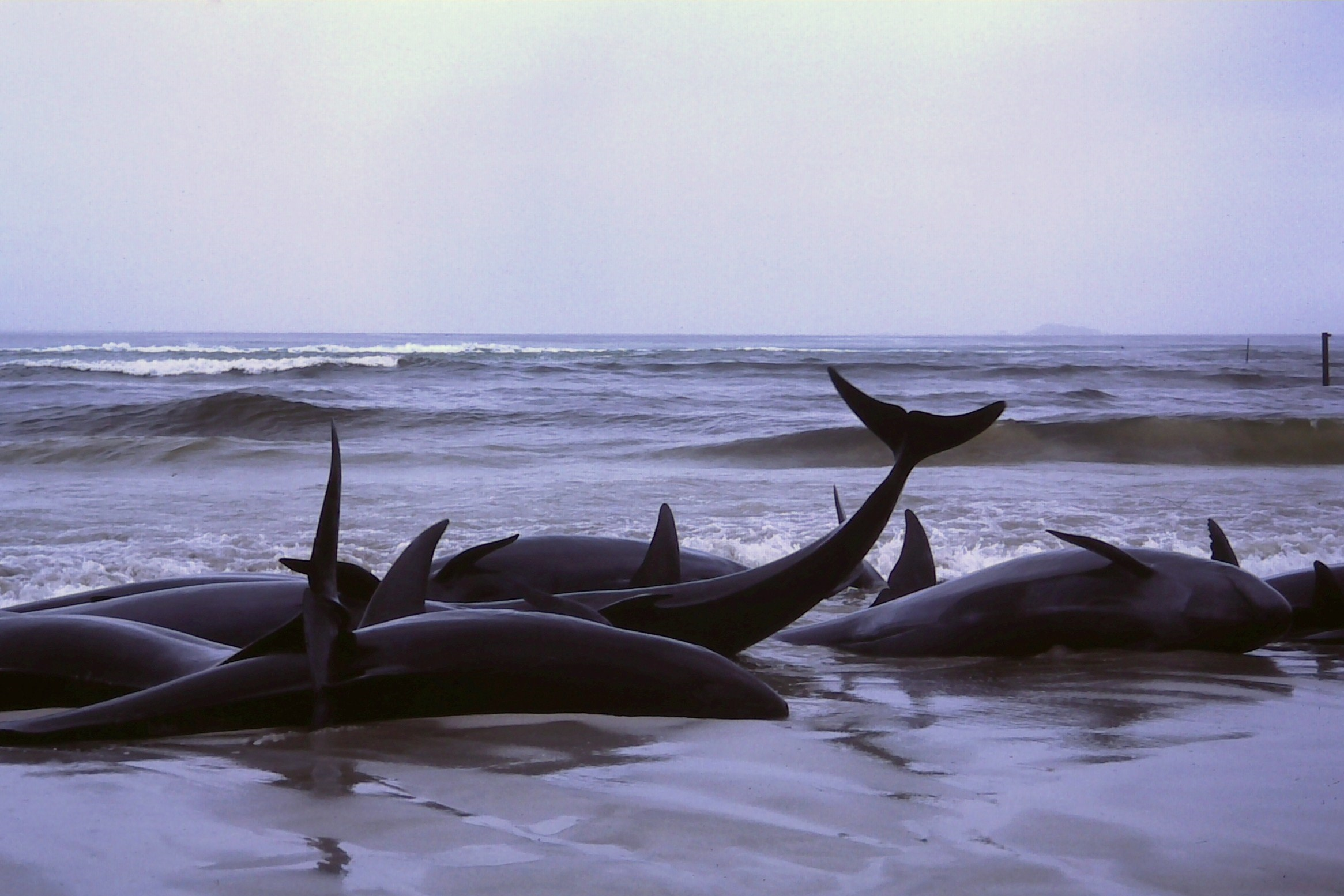 Beached False Whales At Flinders Bay Western Australia 1986