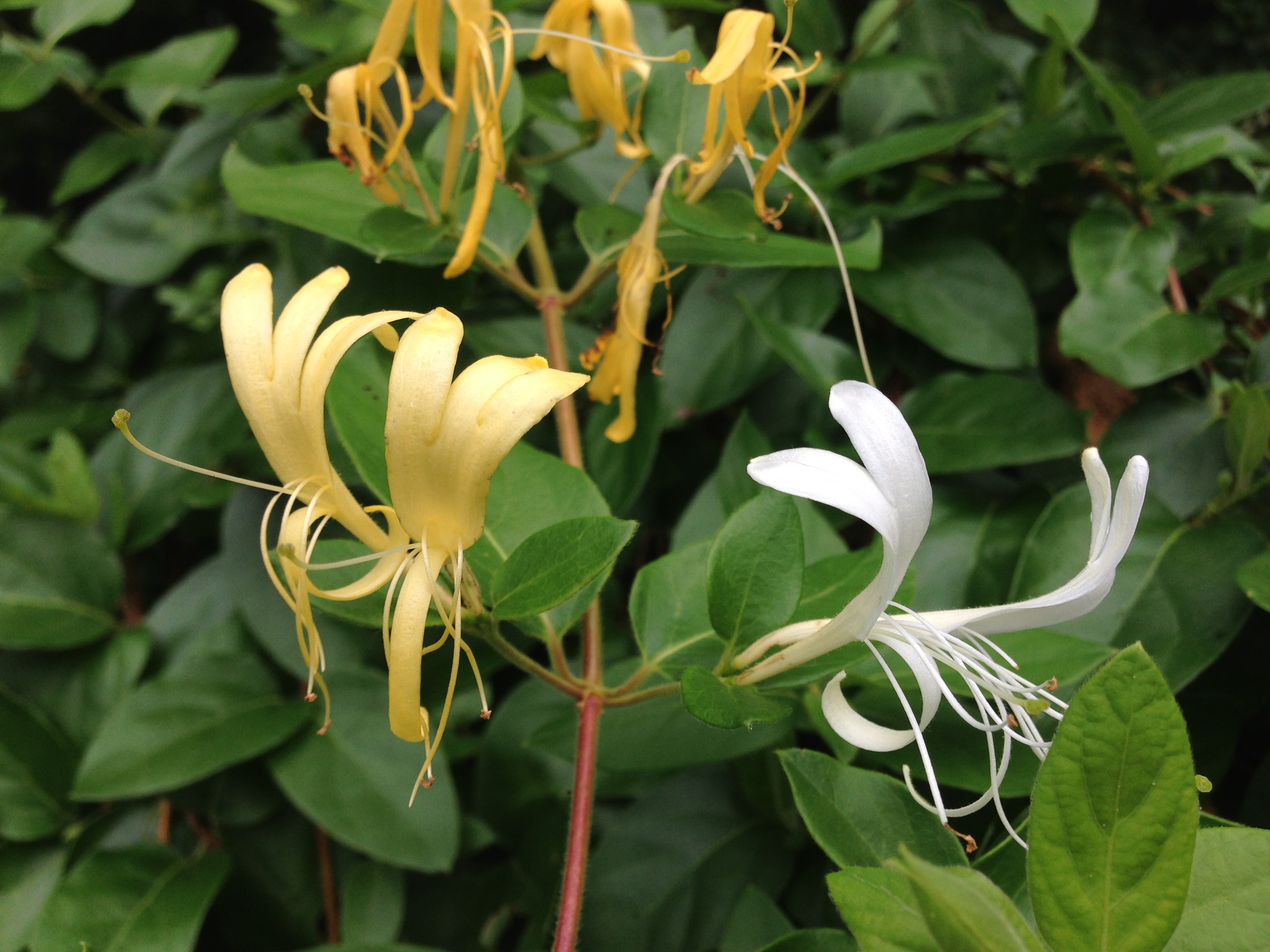 A Lesson in Honeysuckle | Southern Things
