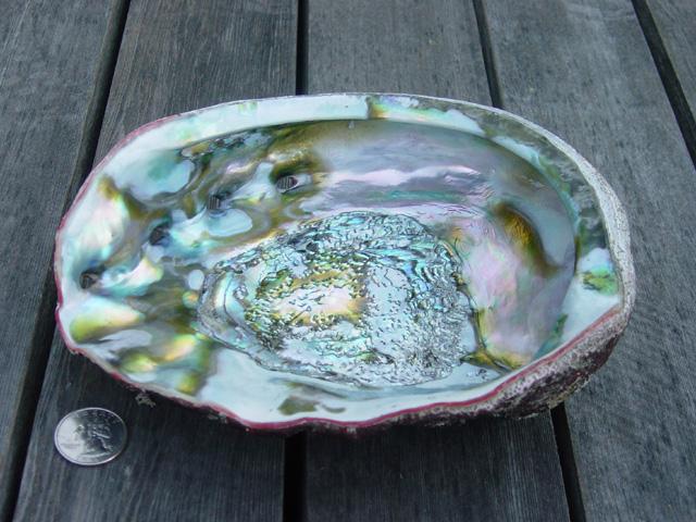 Bestand: AbaloneInside.jpg
