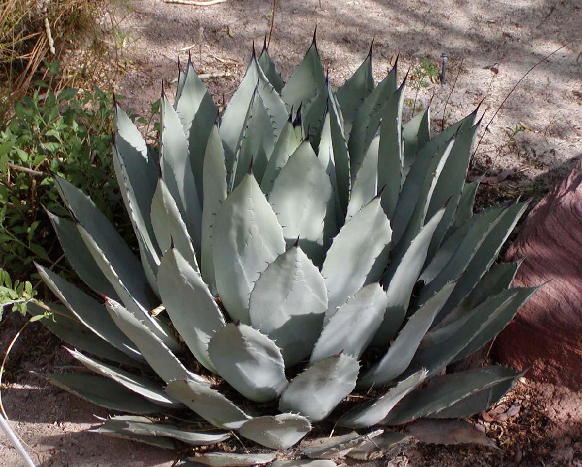 Agave palmeri wikipedia - Agave du mexique ...