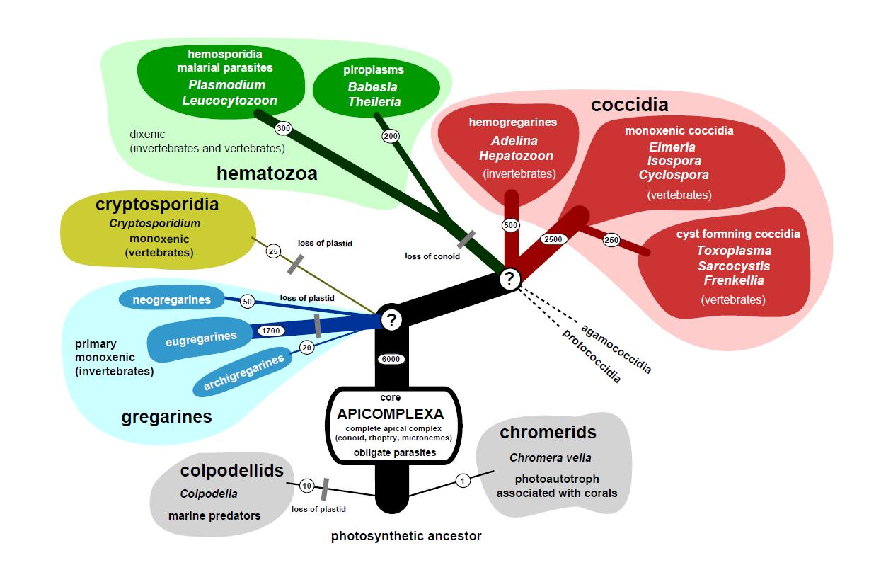 apicomplexa paraziták