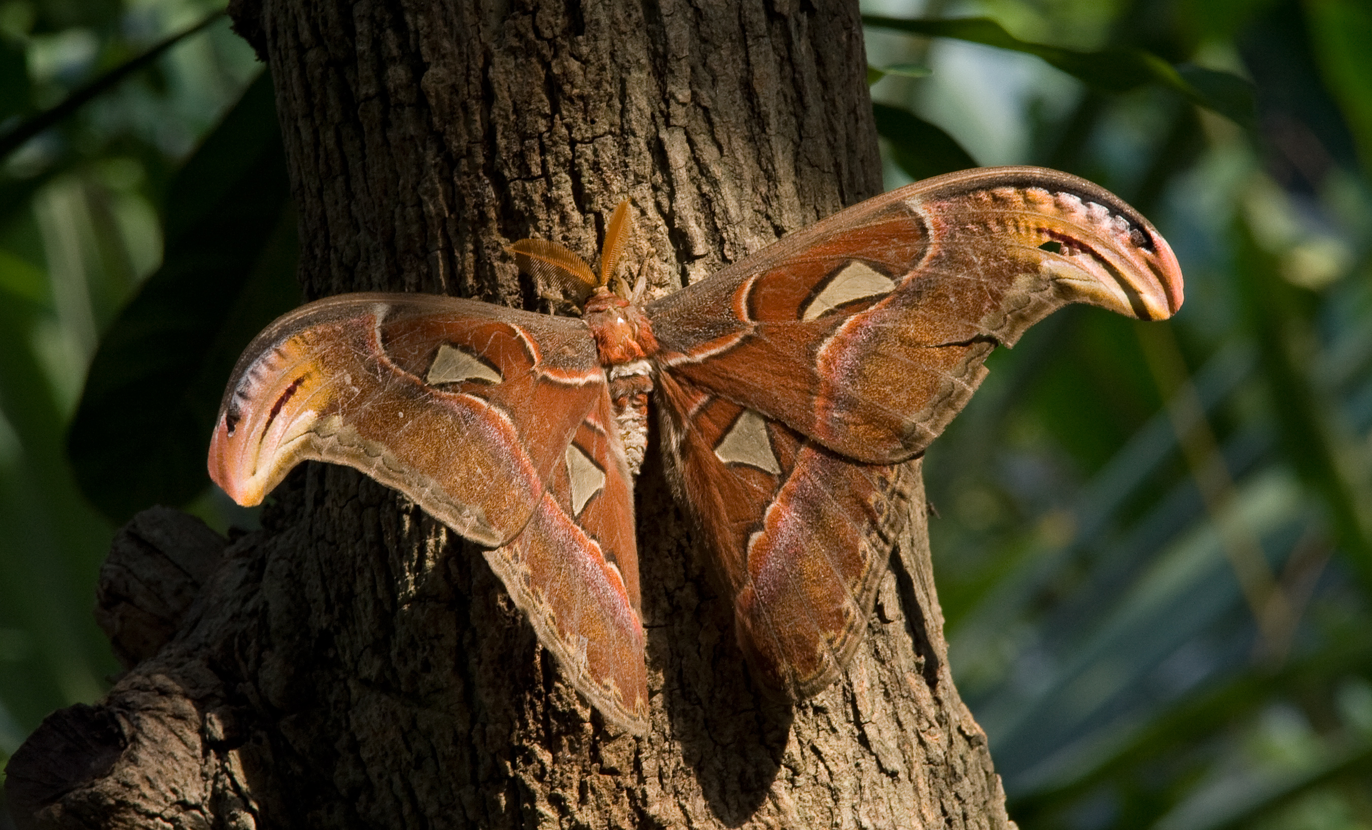 CategoryAttacus atlas  Wikimedia Commons