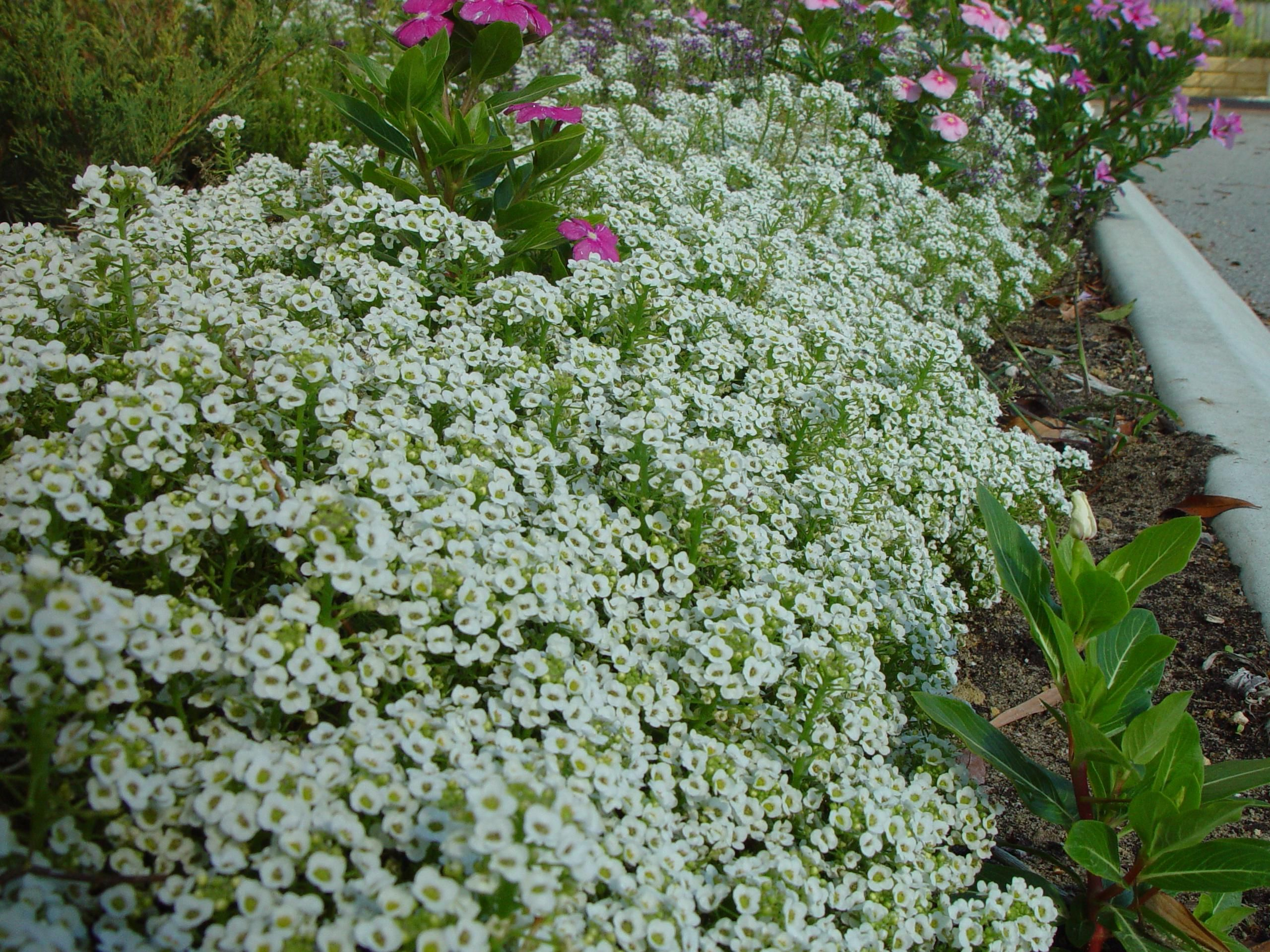 Filebank of little white flowersg wikimedia commons filebank of little white flowersg mightylinksfo