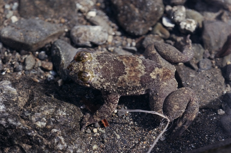 barbourula kalimantanensis