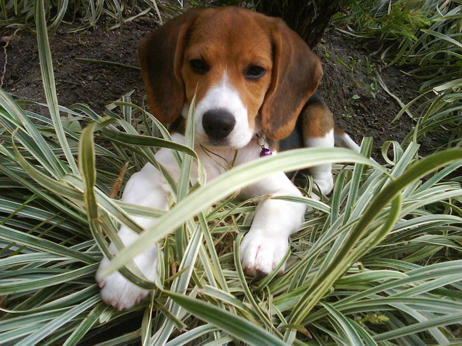 Descrição beagle cachorro jpg