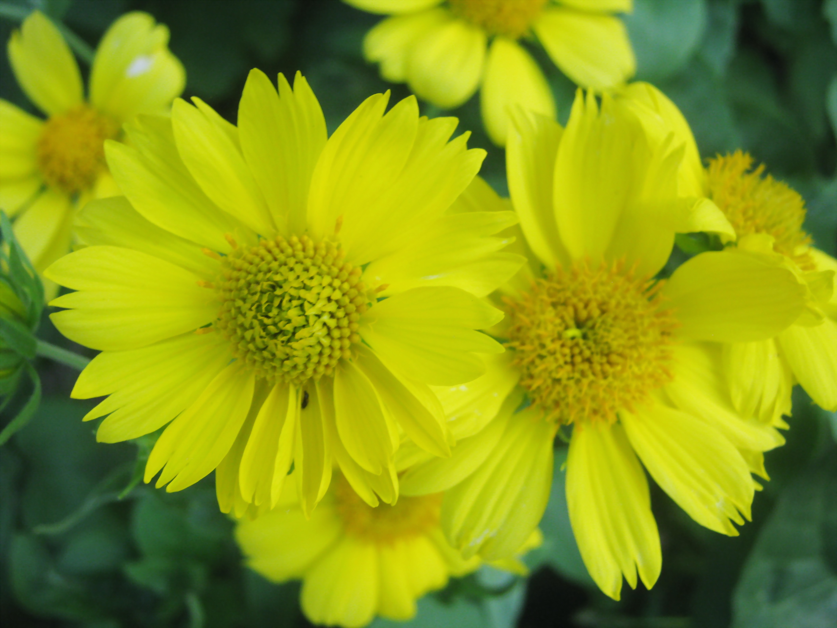 Filebeautiful yellow flowers of ukraineg wikimedia commons filebeautiful yellow flowers of ukraineg izmirmasajfo