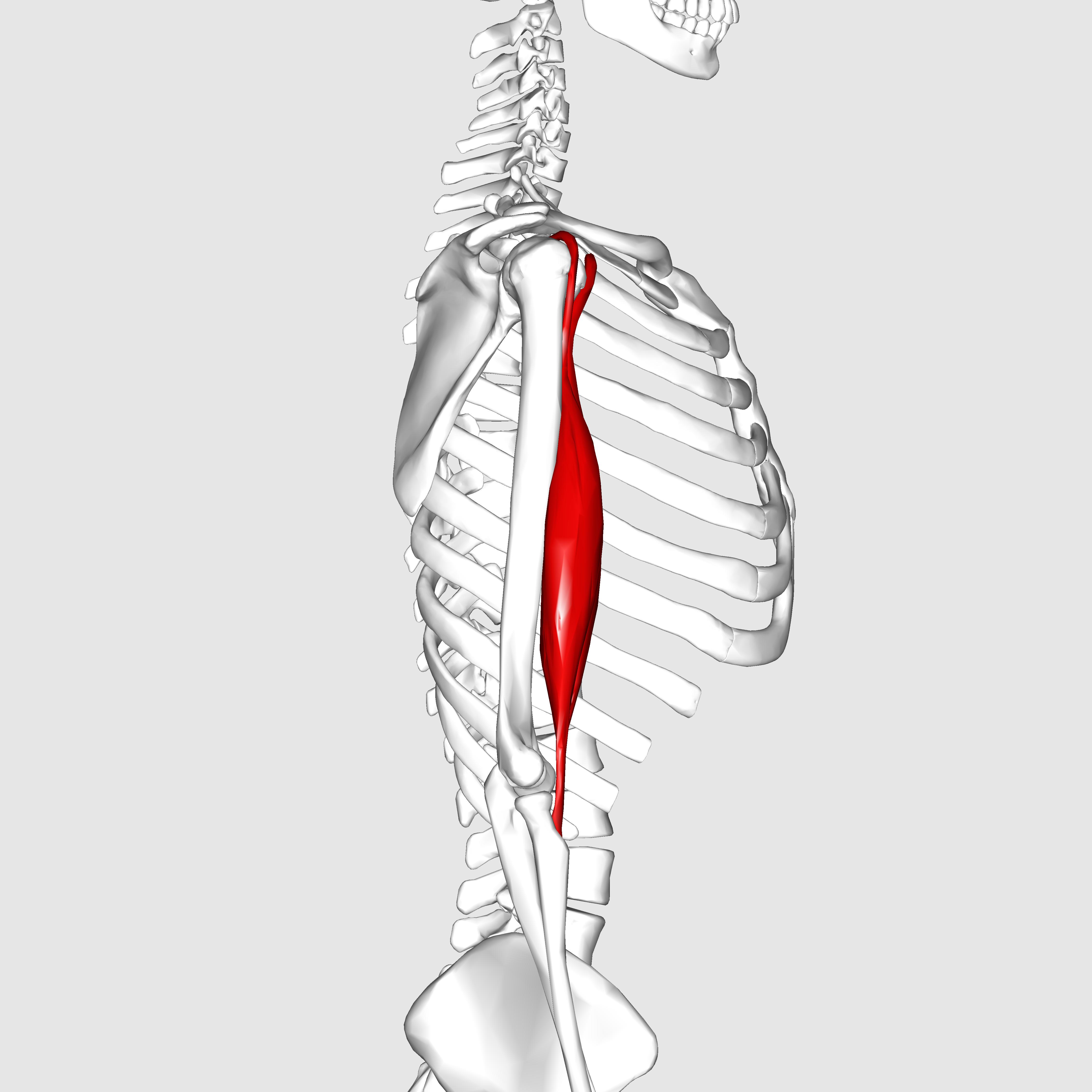 biceps brachii muscle - photo #16