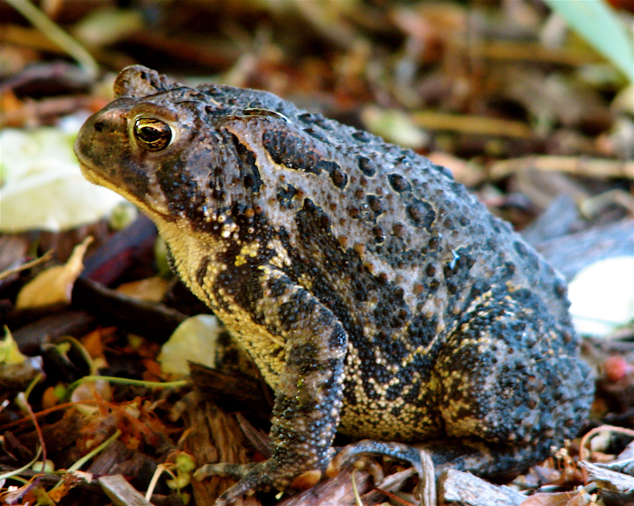 Amphibians Toads Image Gallery names of...