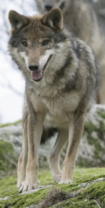 The Iberian wolf is a subspecies of grey wolf that inhabits the forest and plains of northwestern Spain.