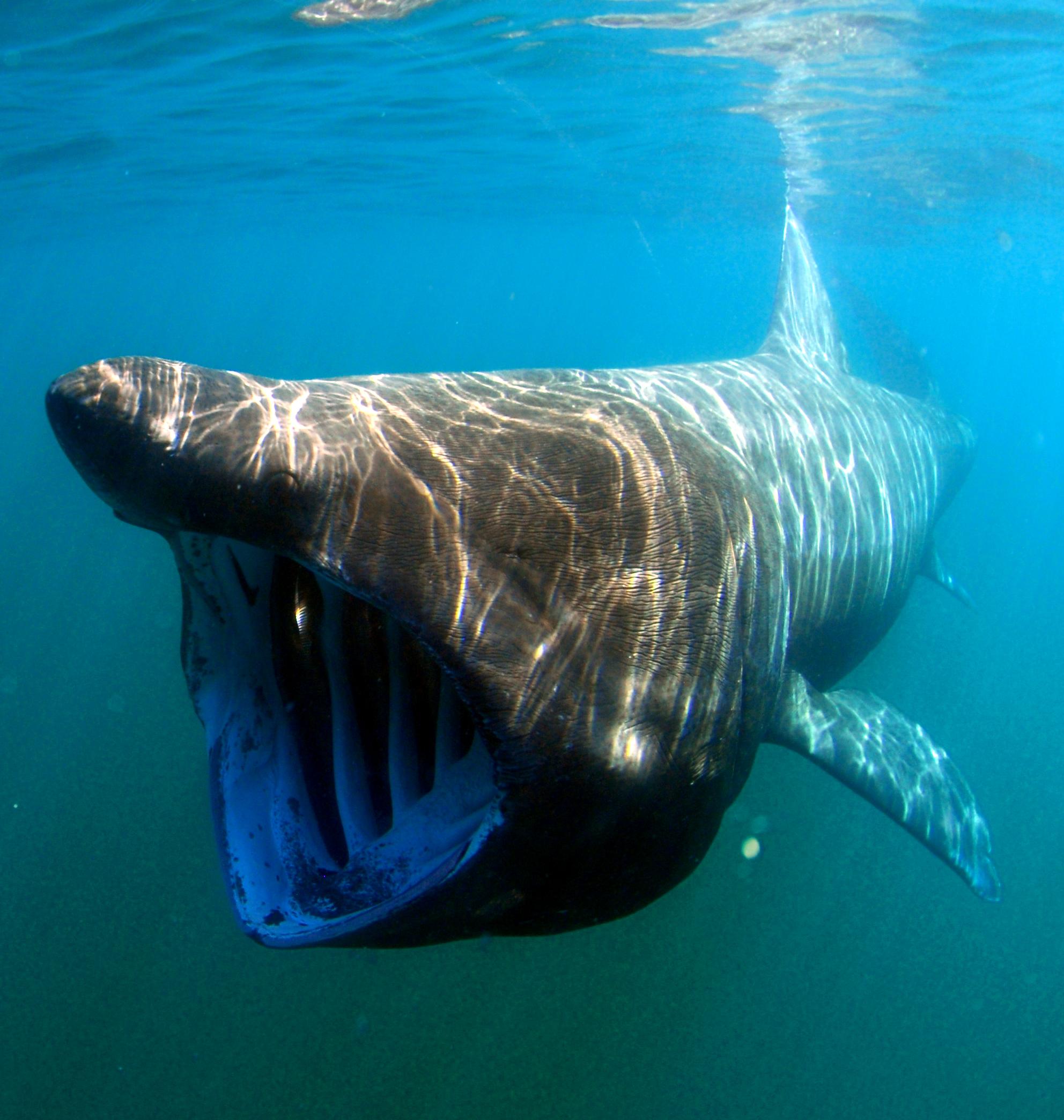 Basking shark - Wikipedia