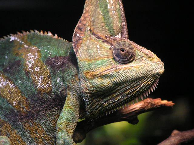 Chameleon head