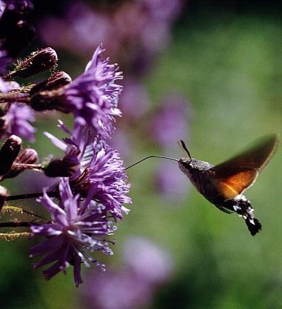 ファイル:Cicerbita alpina mg-k.jpg