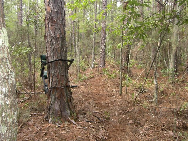 File climbing tree for Tree stand pictures