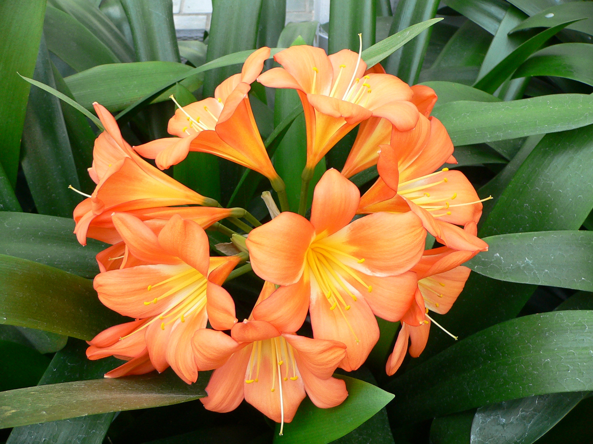 File clivia wikipedia for Flor definition
