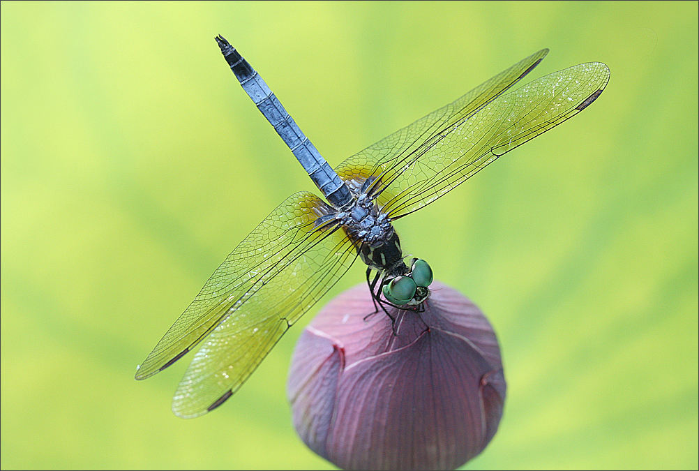 Fileclose Up Of A Dragonfly On A Lotus Flower Bud On Green