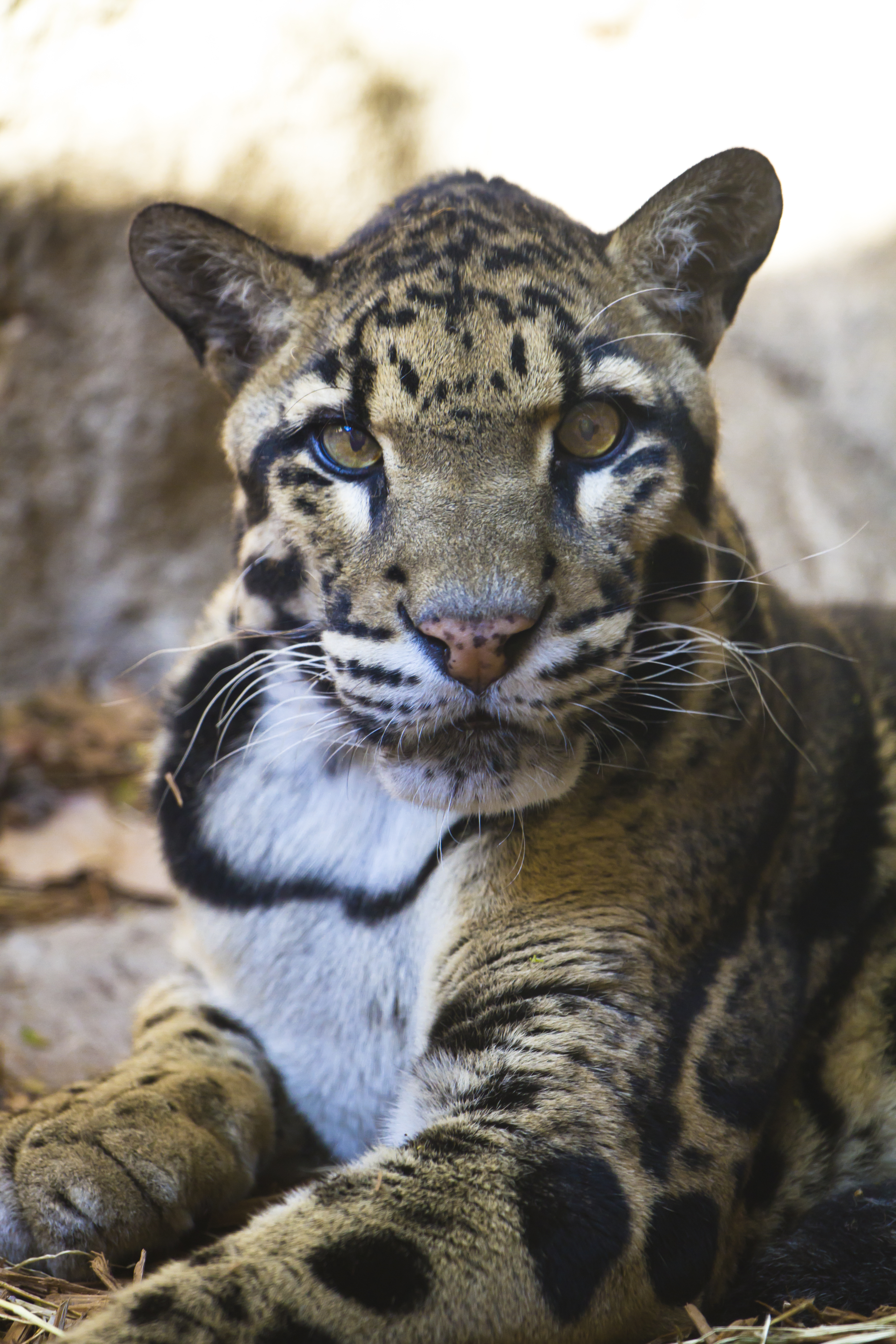 File Clouded Leopard At San Antonio Zoo October 26 2011