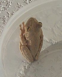 how to get rid of tree frogs around the house