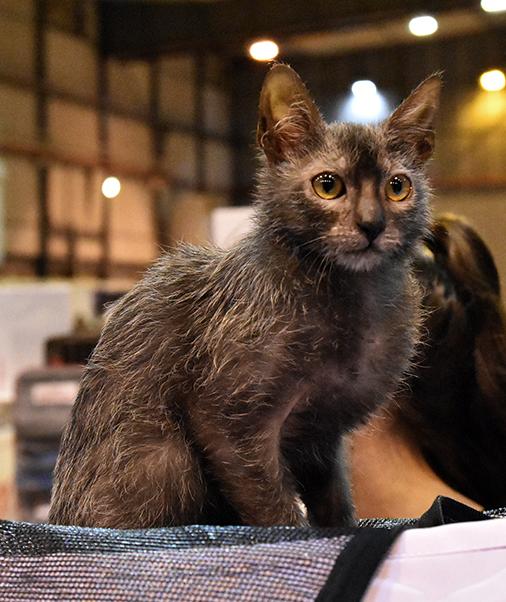 Ultimate Cat Hybrid Cat Breeds Lykoi