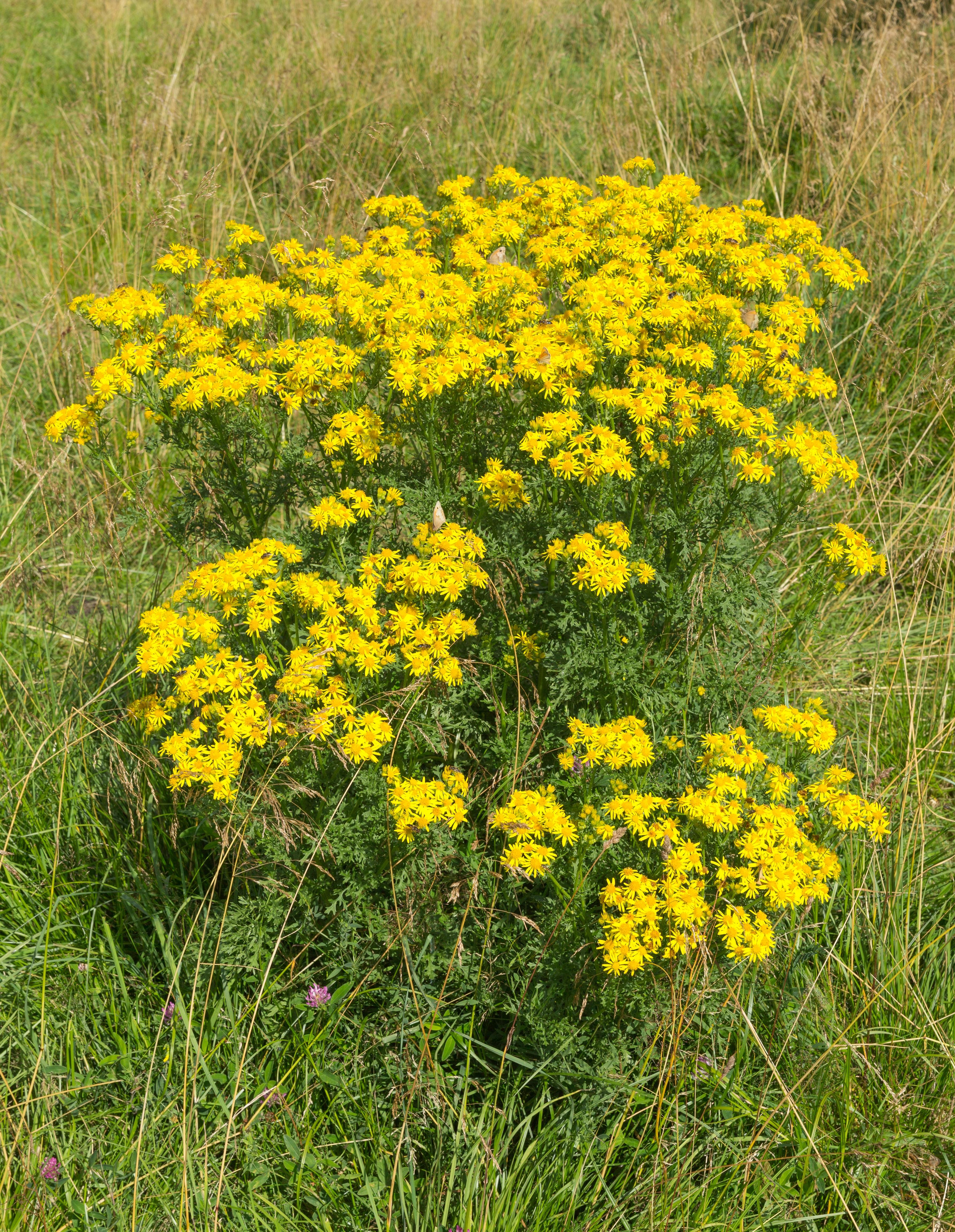 Na fotografii je vysoká zelená, žlutě kvetoucí bylina