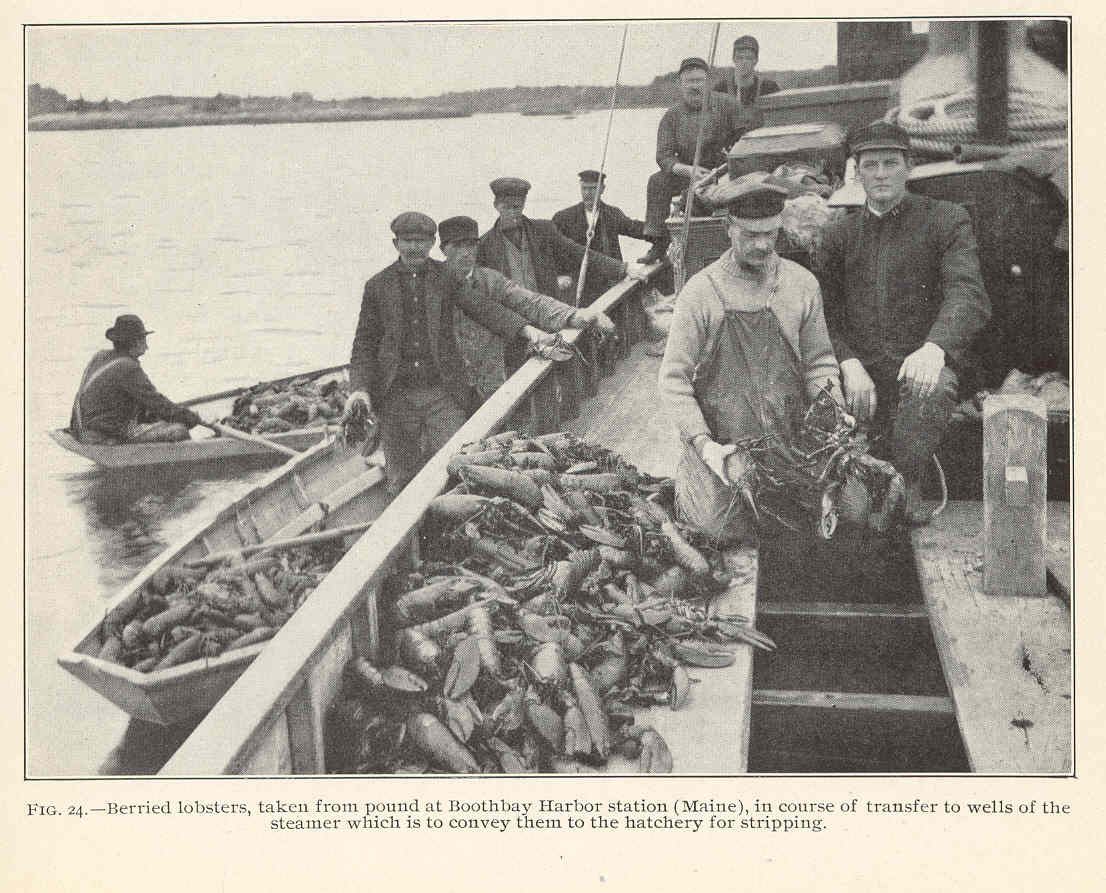 Image result for maine lobster history