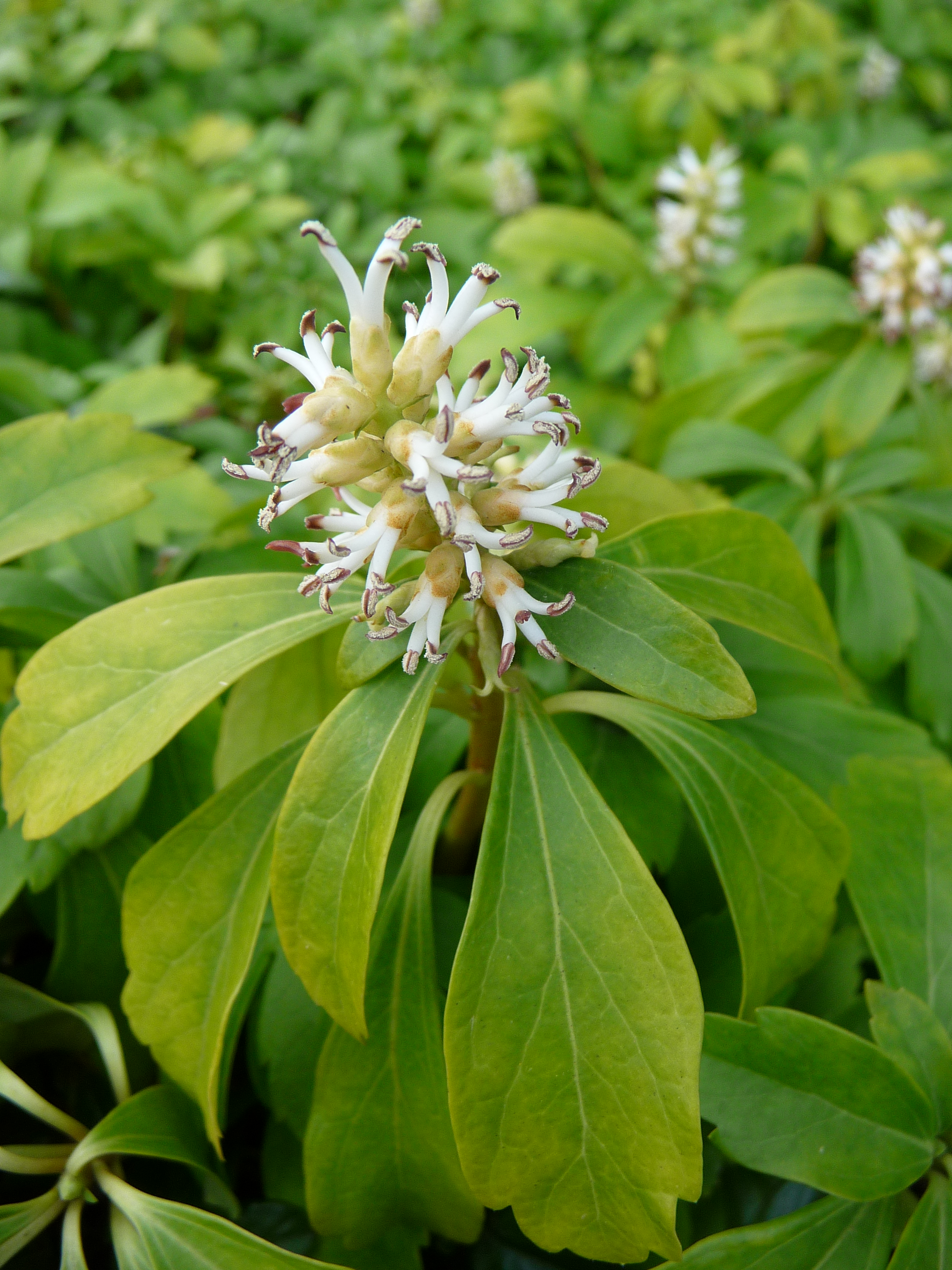 regular farmer weird fruit of the undefined period of time 2 pachysandra terminalis. Black Bedroom Furniture Sets. Home Design Ideas