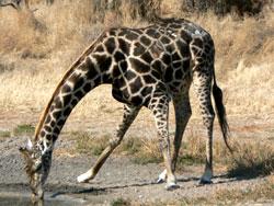 girafe dick