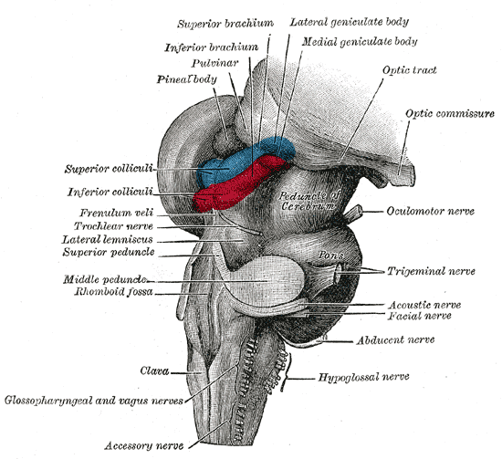 Superior colliculus - Wikiwand