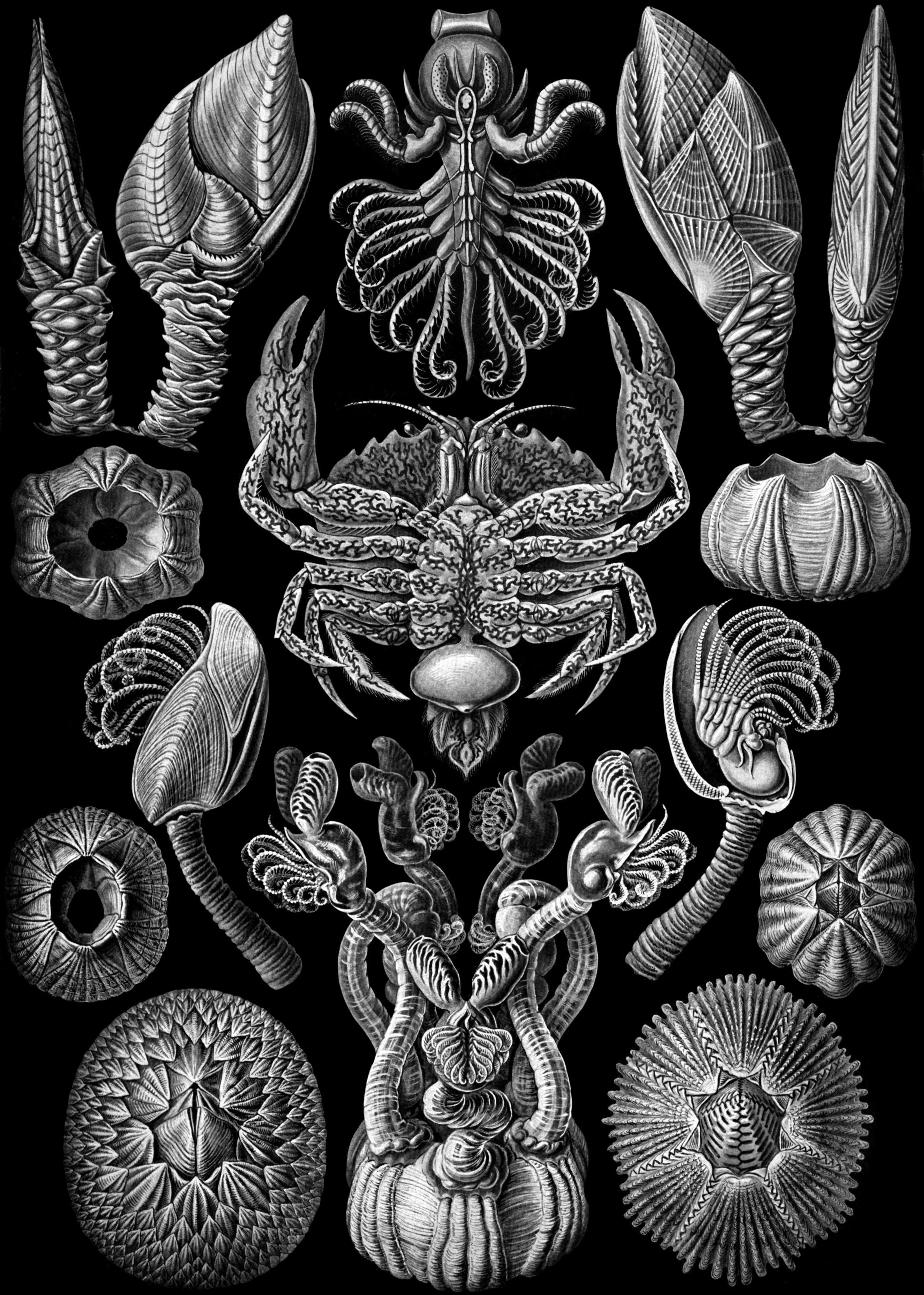 Gooseneck Barnacle Drawing History of Taxonomy[edit