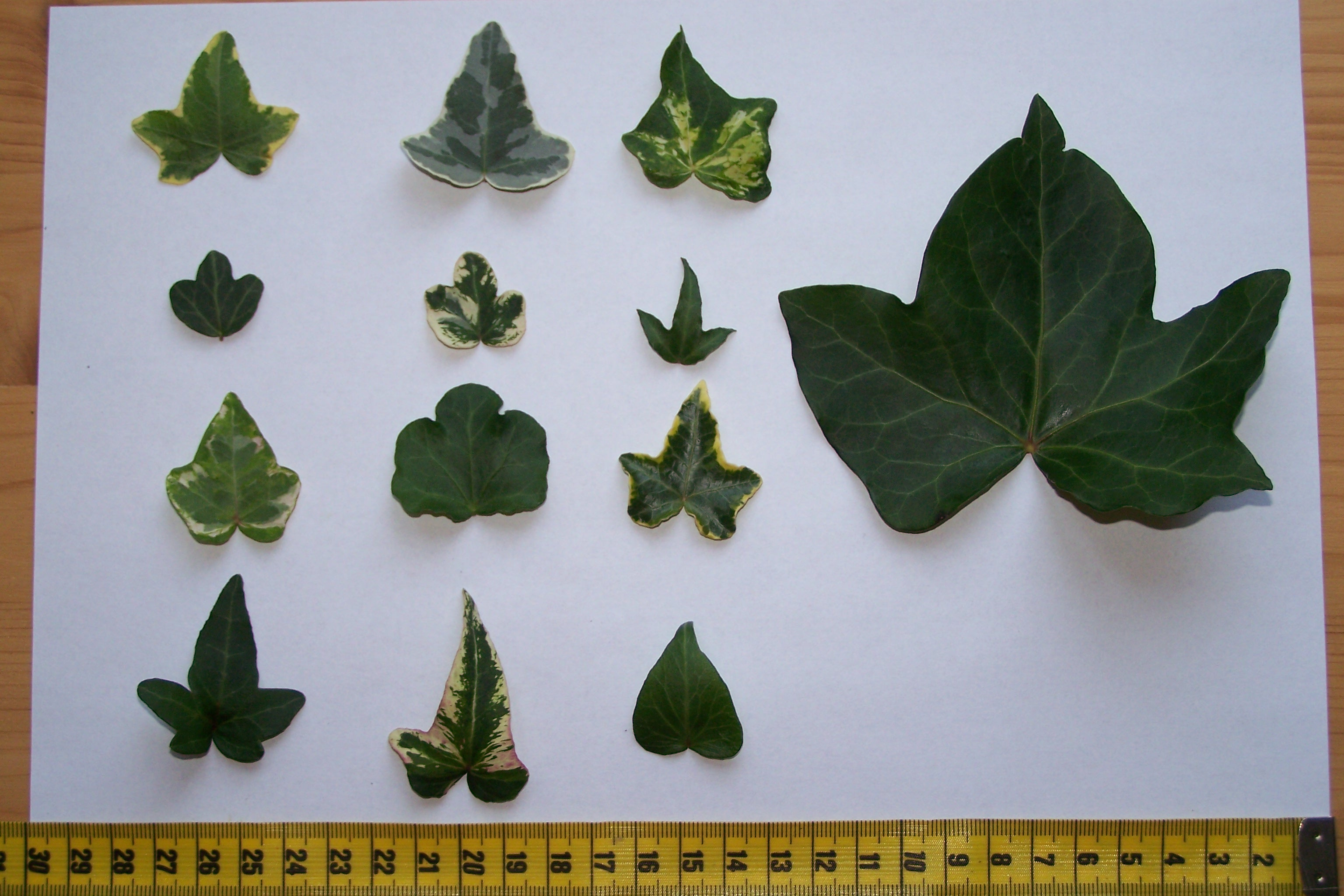 File hedera helix wikimedia commons for Arbustos de hoja perenne para jardin