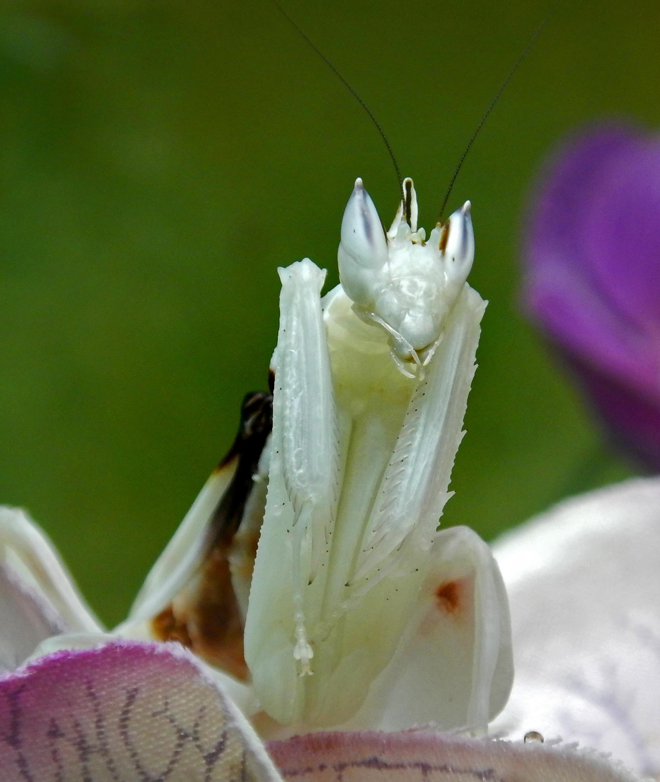 https://upload.wikimedia.org/wikipedia/commons/0/0b/Hymenopus_coronatus_Mante_orchid%C3%A9e_GLAM_MHNL_1_9.jpg