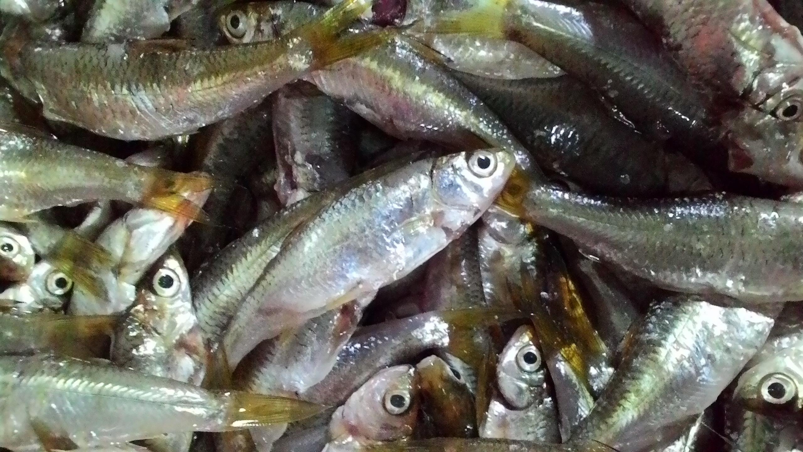 Fakta Unik Ikan Bilis Yang Katanya Bikin Pintar