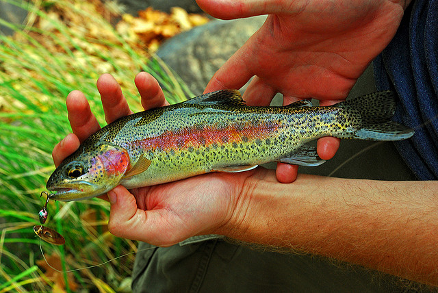 Kern river rainbow trout wikipedia for Fish stocking ca