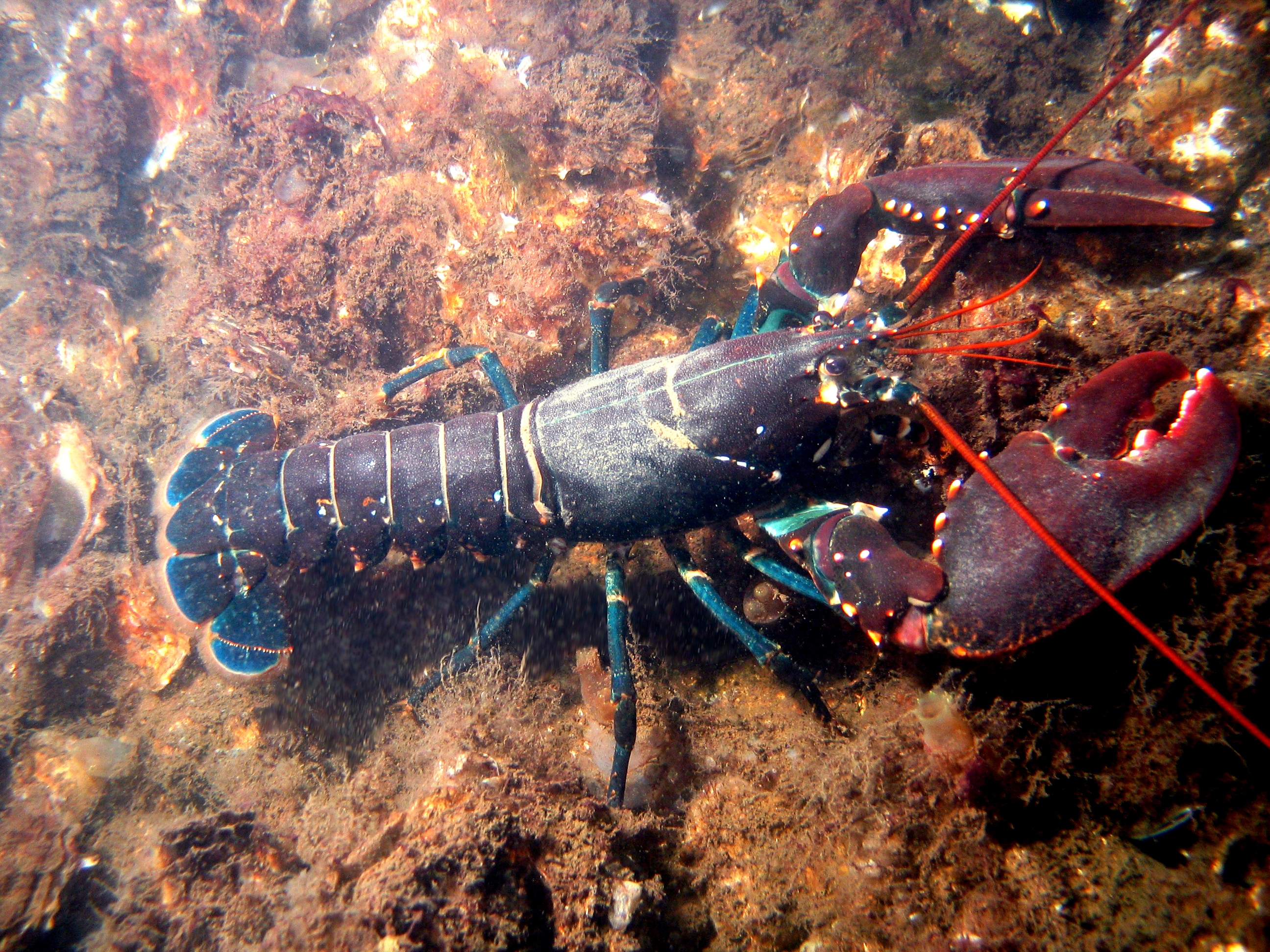 Lobster - Wikipedia