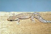 Mourning Gecko, a common sight all over the tropical Pacific.