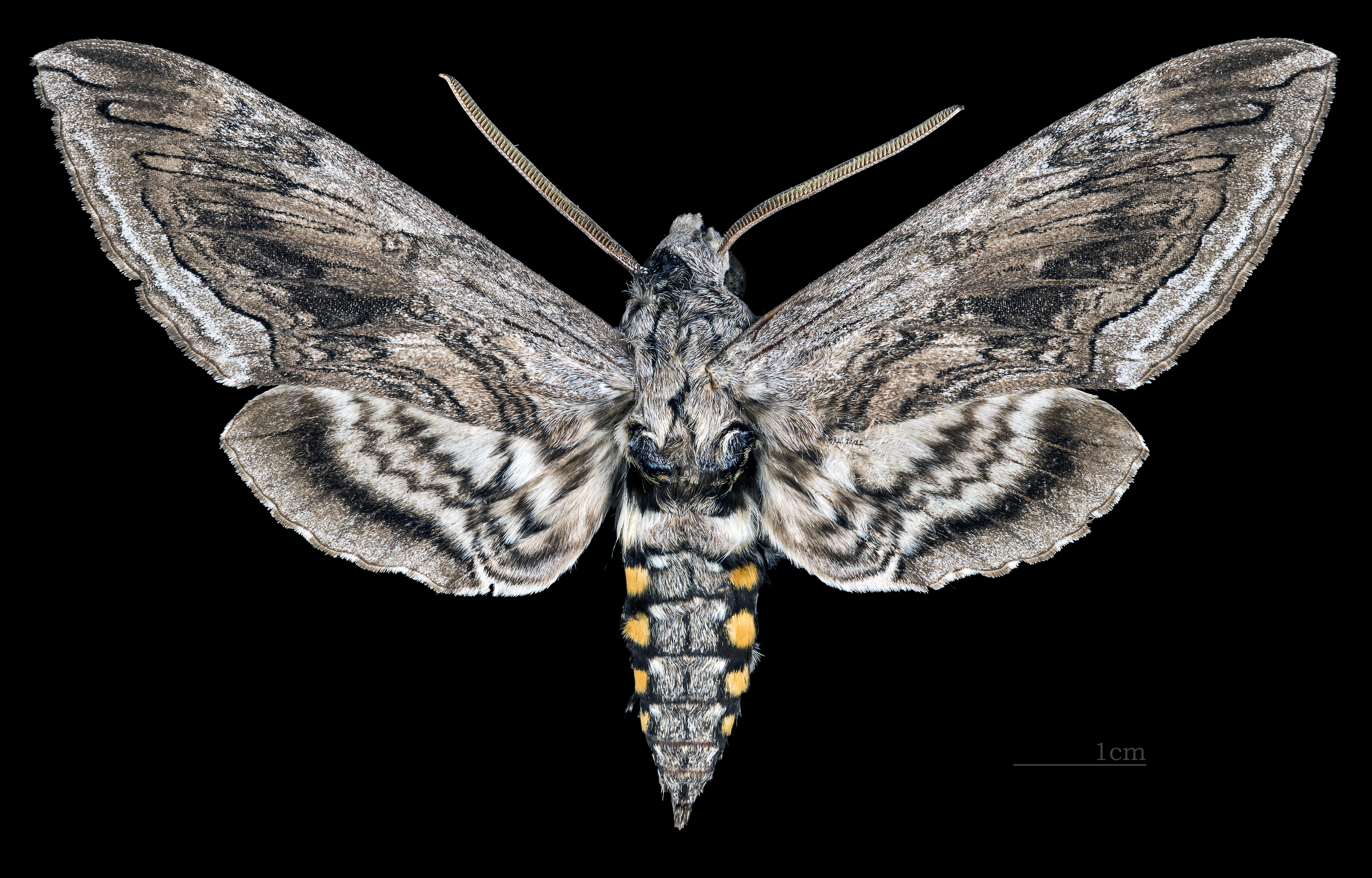 Manduca quinquemaculata - Wikipedia