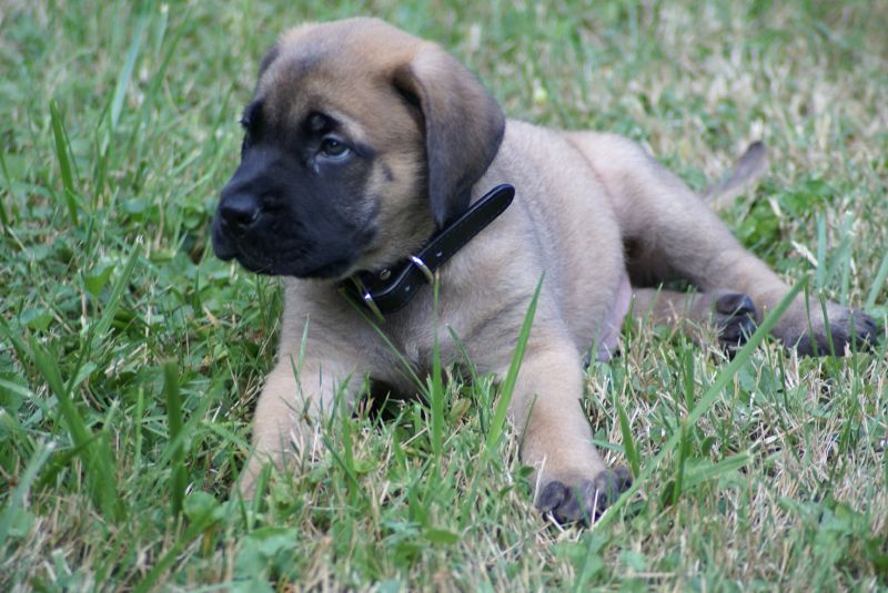 English Mastiff Dogs For Sale In India