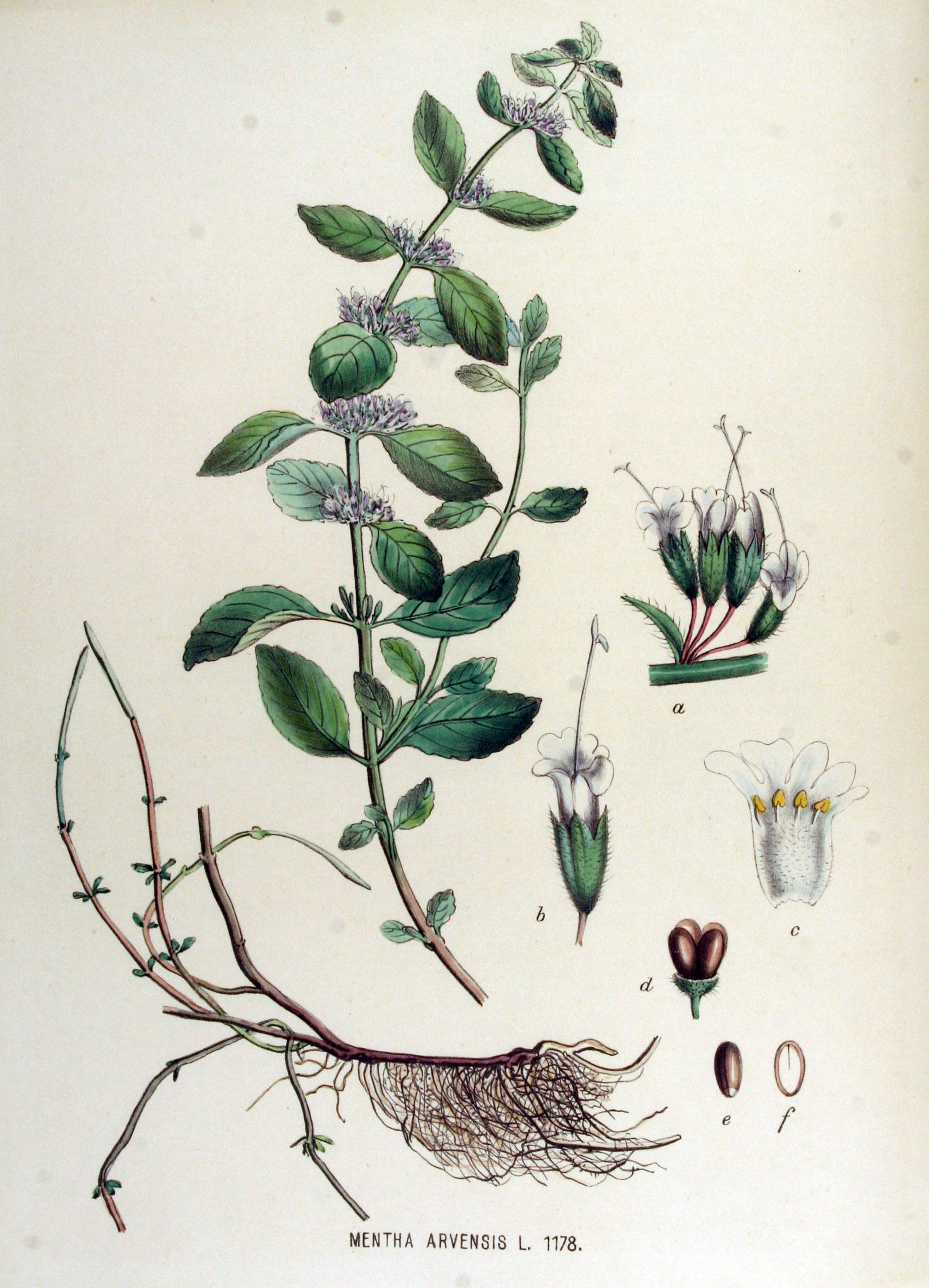 Mentha Arvensis Uses File Mentha Arvensis Flora