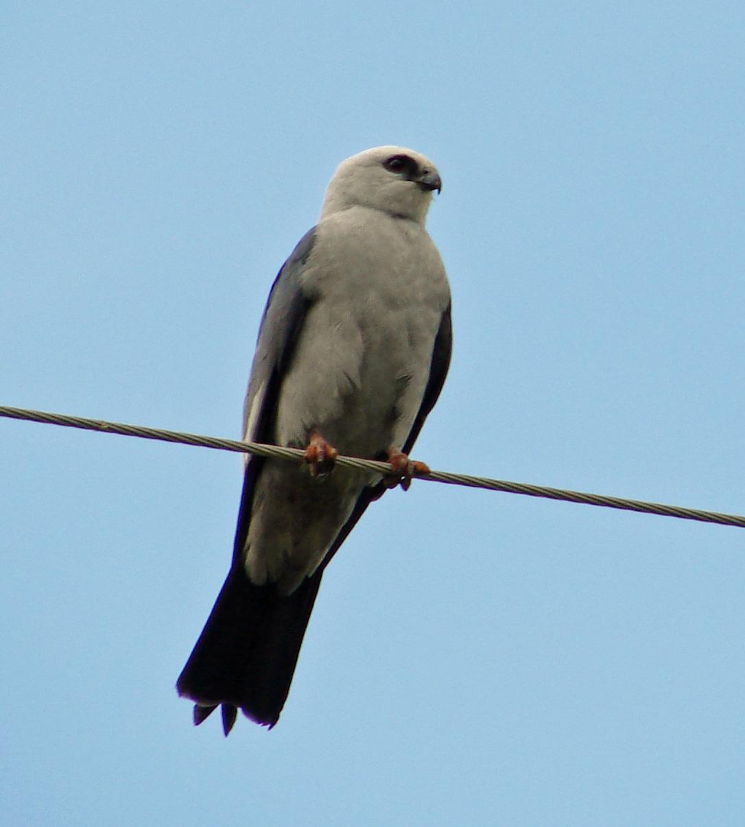Mississippi kite - Wikipedia