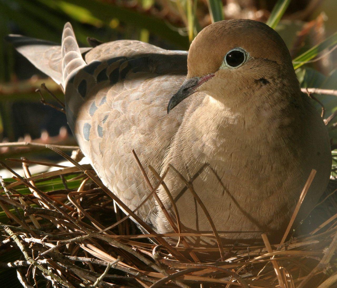 Mourning Dove Nest File:Mother hen nestin...