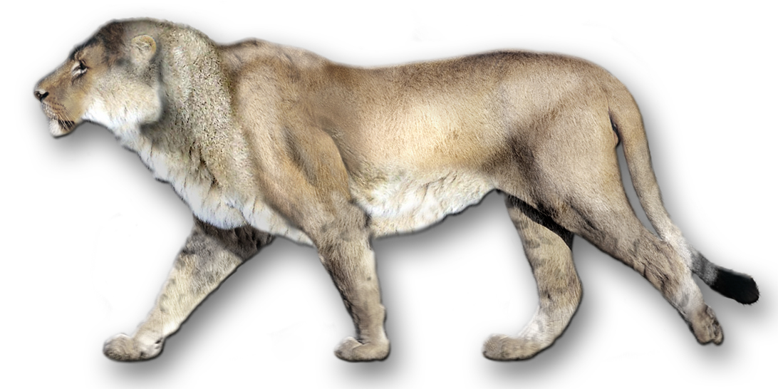 North American Gray Lion