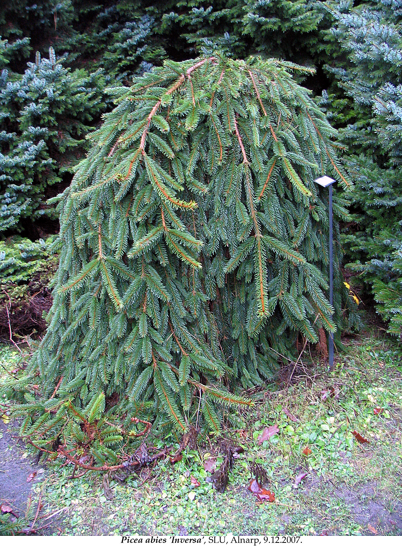 Picea Abies Inversa Garden Design Ideas