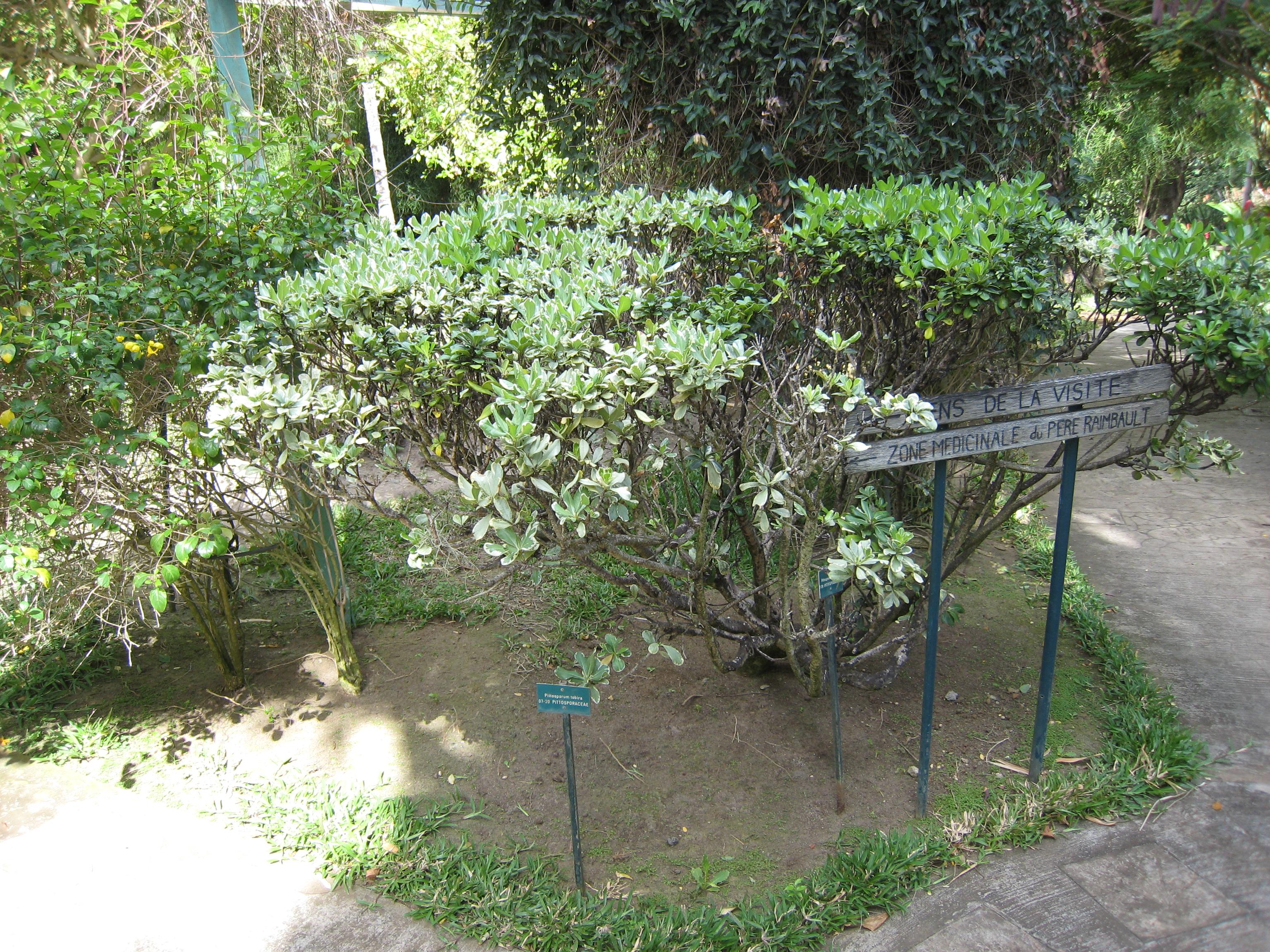 File pittosporum tobira jardin d 39 den jpg wikimedia for Jardin eden