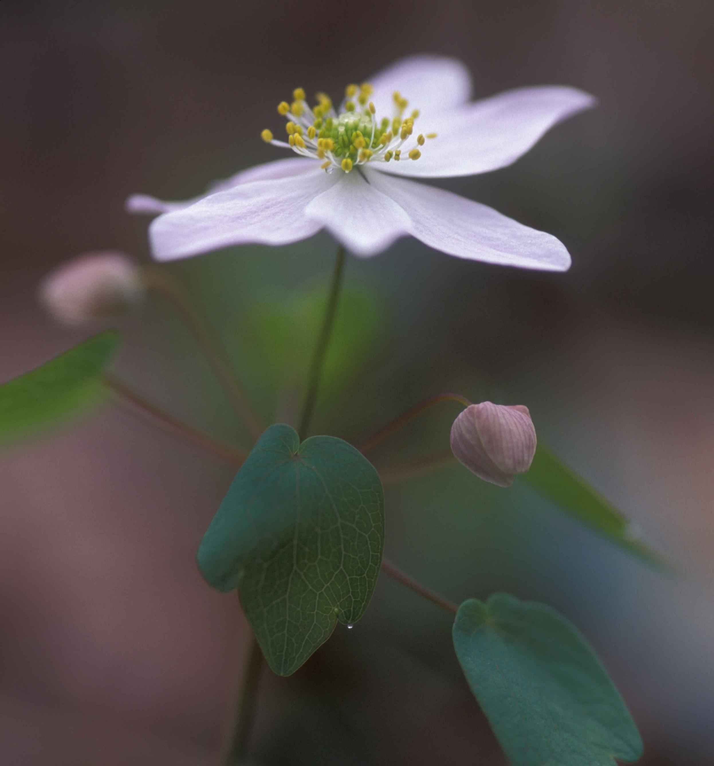 Closeup of a rue anemone