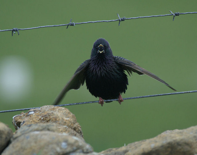 File:Shetland Starling (Sturnus vulgaris zetlandicus), Baltasound - geograph.org.uk - 1612537.jpg
