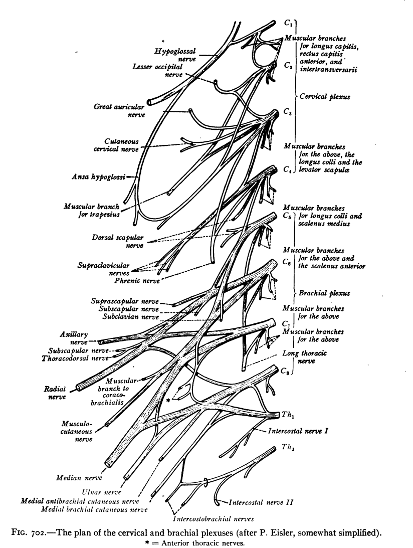 Cervical spinal nerve 1 - Wikipedia