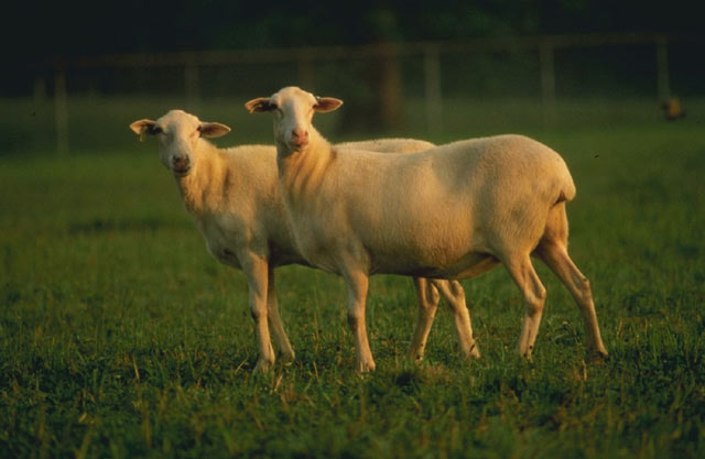 wether   castrated male sheep
