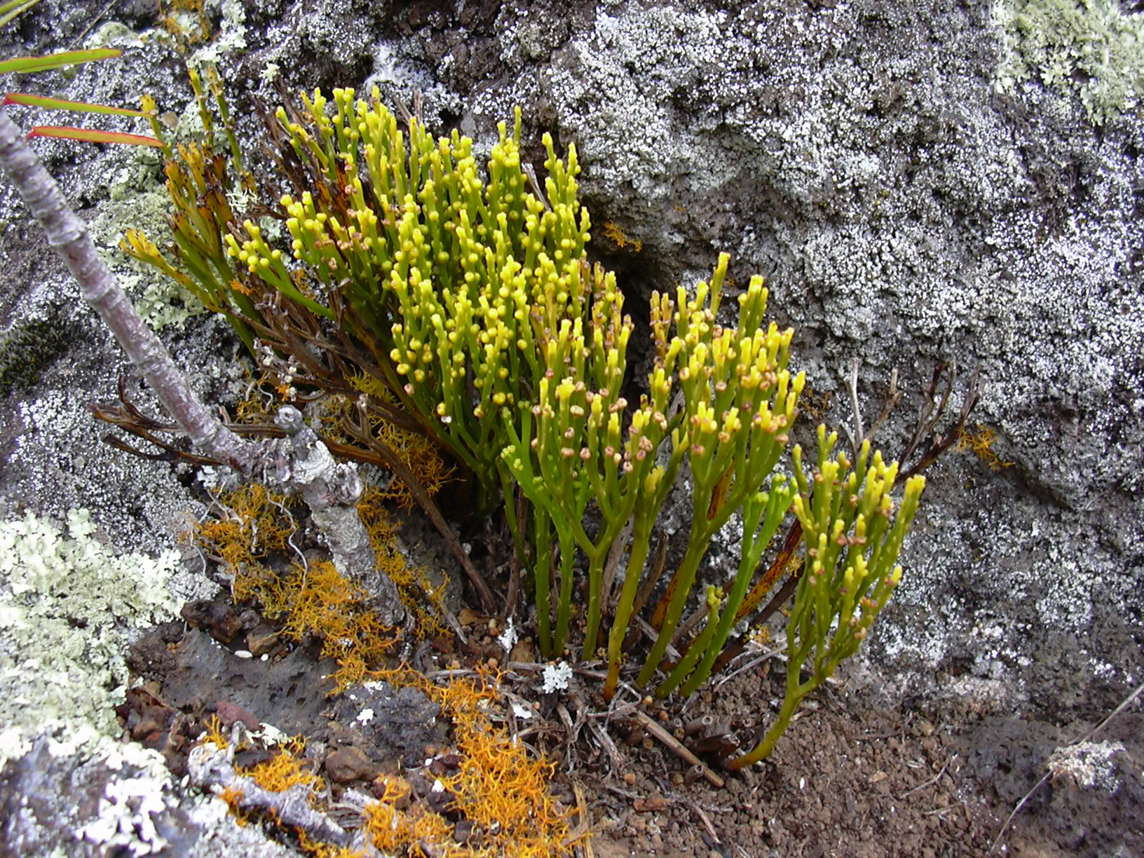 https://upload.wikimedia.org/wikipedia/commons/0/0b/Starr_030628-0095_Psilotum_nudum.jpg