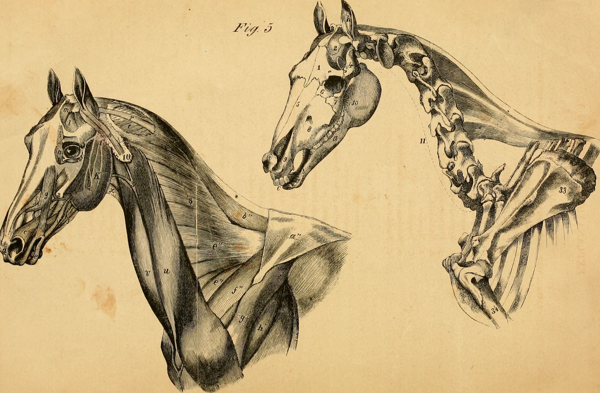 File:The anatomy and physiology of the horse - with anatomical and ...