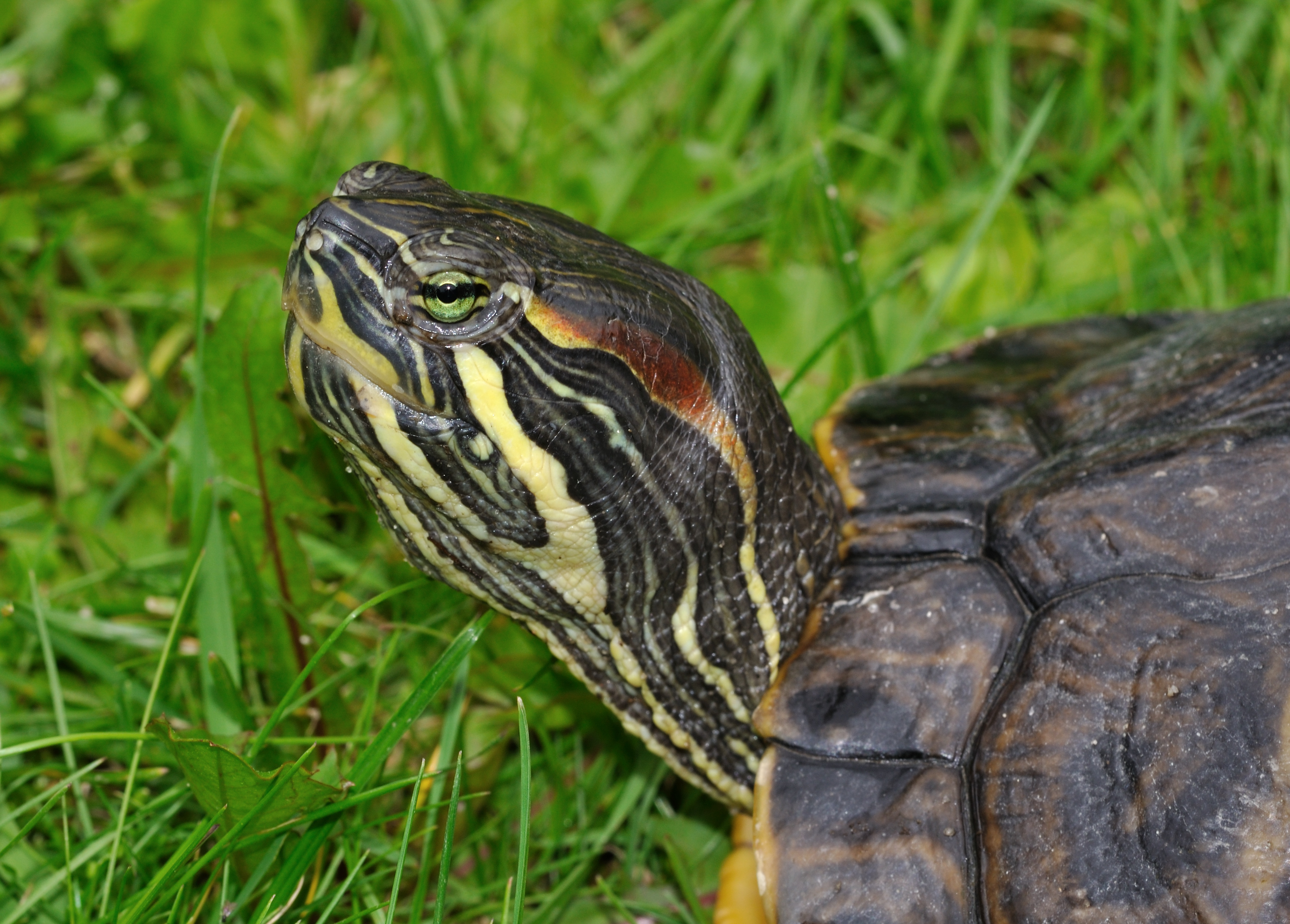 File trachemys scripta troostii wikimedia commons for Trachemys scripta