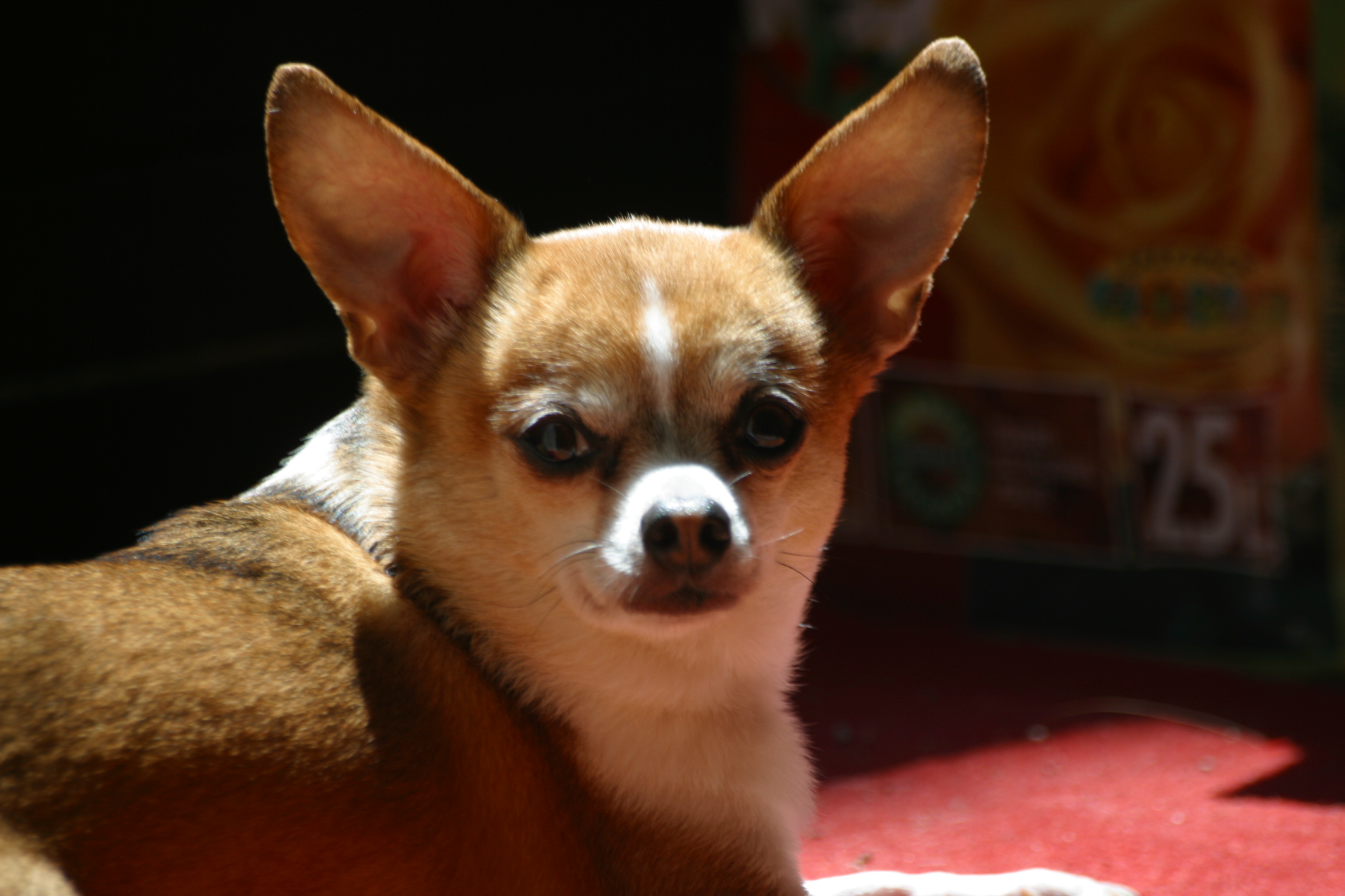 File:Tricolor-chihuahua.jpg - Wikimedia Commons